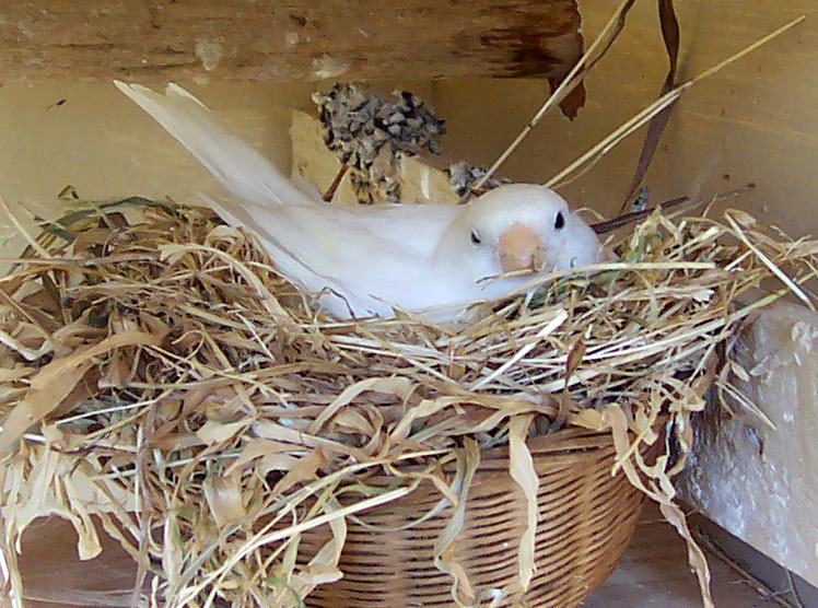 Nesting canary