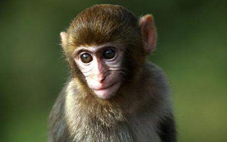 Rhesus Macaque Monkey from Hong Kong